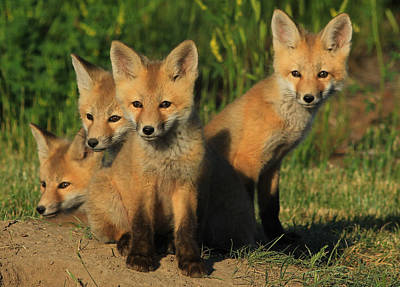 Foxy Four Art Print