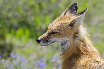 Photograph - Foxy Lady by Dee Cresswell