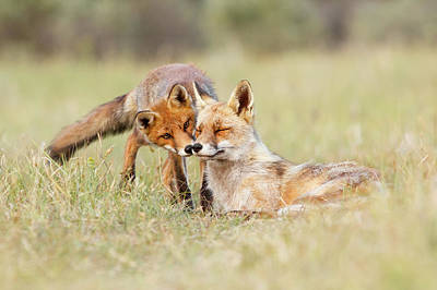 Sorrel Photograph - Foxy Love - Mother Fox And Fox Kit by Roeselien Raimond