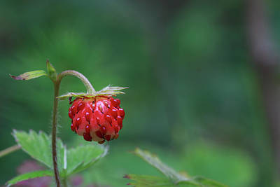 Photograph - Fragaria Vesca by Andreas Levi
