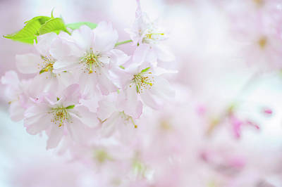 Photograph - Fragile Beauty. Spring Pastels by Jenny Rainbow