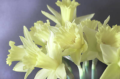 Photograph - Fragile Daffodils by Jacqi Elmslie