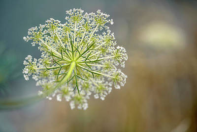 Bug Photograph - Fragile Dill Umbels On Summer Meadow by Nailia Schwarz