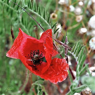 Photograph - Fragile Red Poppy by Gabriele Pomykaj