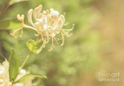 Photograph - Fragrant Honeysuckle by Cheryl Baxter