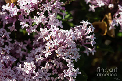 Photograph - Fragrant Lilac by Jennifer White