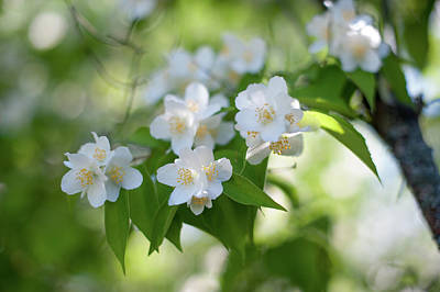 Photograph - Fragrant Philadelphus  by Jenny Rainbow