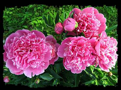 Photograph - Fragrant Pink Peonies by Will Borden
