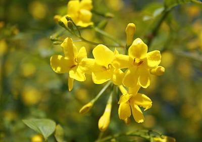 Photograph - Fragrant Yellow Flowers Of Carolina Jasmine by Tracey Harrington-Simpson