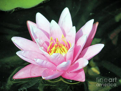 Frail Beauty - A Water Lily Art Print by J Jaiam