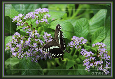 Photograph - Framed Black Swallowtail by Sandra Huston