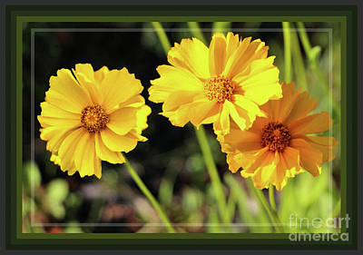 Photograph - Framed Buttons Of Sunshine by Sandra Huston