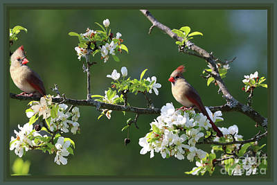 Photograph - Framed Cardinals In Spring by Sandra Huston