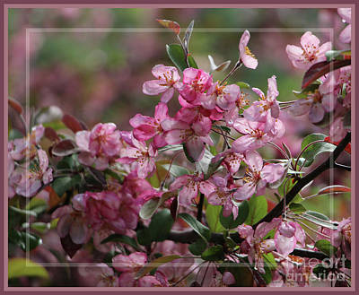 Photograph - Framed Crabapple Blossoms by Sandra Huston