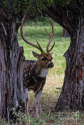 Photograph - Framed Deer by Douglas Barnard