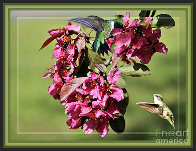 Photograph - Framed Hummingbirds And Crabapple Blossoms by Sandra Huston