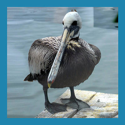 Photograph - Framed Pelican by Carla Parris