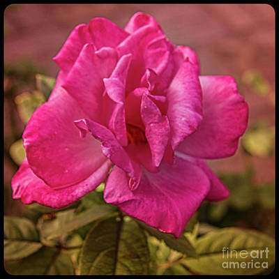 Photograph - Framed Pink Rose by Robert Bales
