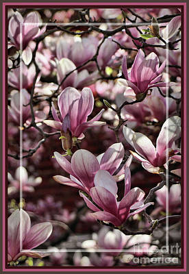 Photograph - Framed Sun Kissed Magnolias by Sandra Huston