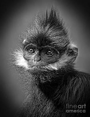 Photograph - Francois Langur Monkey Iv by Jim Fitzpatrick