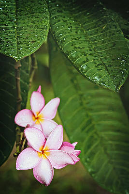 Photograph - Frangipani 2 by Jill Love