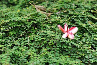 Frangipani Flower Art Print by Jessica Rose