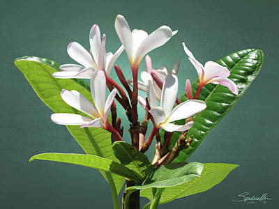 Digital Art - Frangipani Flower by IM Spadecaller