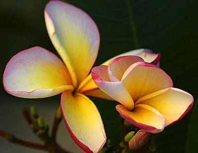 Frangipani Flowers Art Print by Ralph A  Ledergerber-Photography