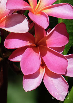 Photograph - Frangipani by Mini Arora