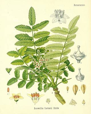 Flora Drawing - Frankincense by German School