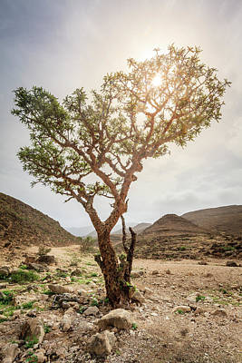 Photograph - Frankincense Tree by Alexey Stiop