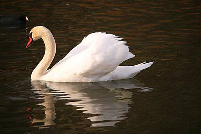 Photograph - Frank's Swan by Frank G Montoya