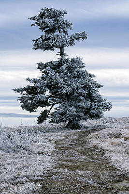 Photograph - Frasier Fir Tree Grows Naturally by Serge Skiba