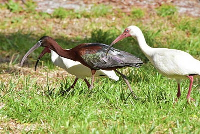 Photograph - Fraternal Ibis Twins by William Tasker