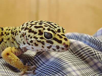 Freckles The Leopard Spotted Gecko Art Print by Chad and Stacey Hall