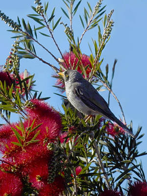 Photograph - Fred In The Bottlebrush by Mark Blauhoefer