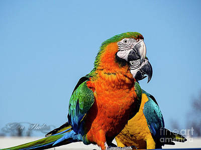 Photograph - Free Flying Hybrid Macaws by Melissa Messick