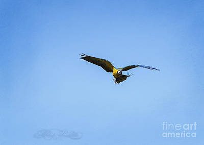 Photograph - Free Flying Macaw by Melissa Messick