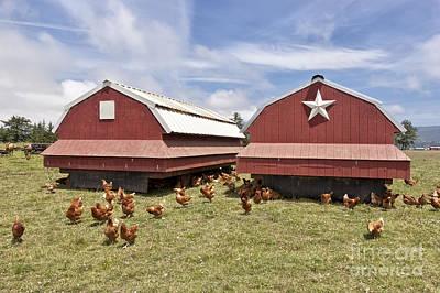 Chicken Photograph - Free Range Chicken Organic Eggs by Inga Spence