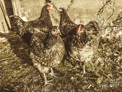 Poultry Photograph - Free Range Poultry by Jorgo Photography - Wall Art Gallery