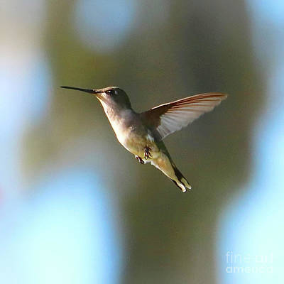 Photograph - Free Spirit Hummingbird by Carol Groenen