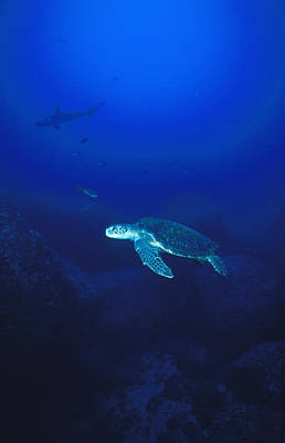 Green Sea Turtle Photograph - Free Swimming Green Sea Turtle by James Forte