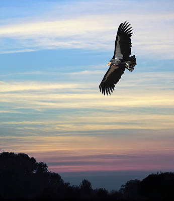 Condor Photograph - Free To Fly Again - California Condor by Daniel Hagerman