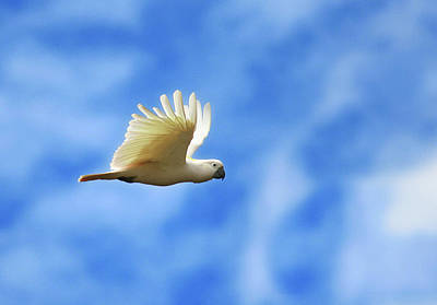 Cockatoo Photograph - Freedom by Animus Photography