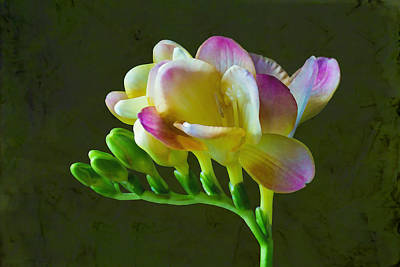 Photograph - Freesia Flower Painted Macro by Sandi OReilly