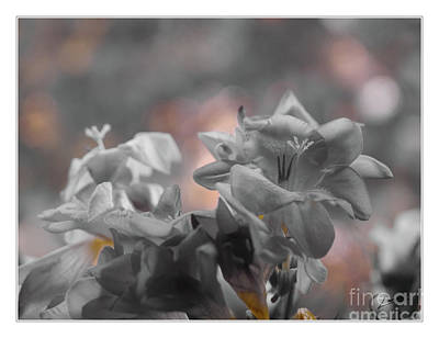 Photograph - Freesia'a Without Colour by Lance Sheridan-Peel