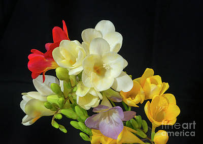 Photograph - Freesias 18 by Glenn Franco Simmons