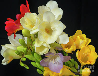 Photograph - Freesias 19 by Glenn Franco Simmons