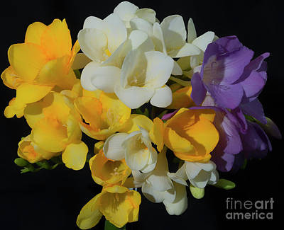 Photograph - Freesias Softened 1 by Glenn Franco Simmons