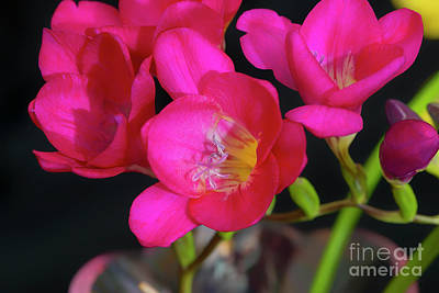 Photograph - Freesias Softened 5 by Glenn Franco Simmons